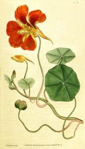 Blomsterkarse - Tropaeolum