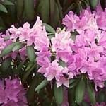 rhododendronbanner