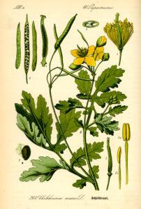 Svaleurt - Chelidonium majus