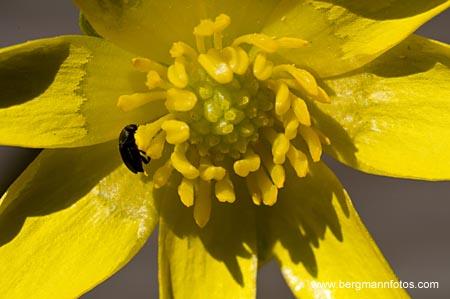 Vorterod - blomst
