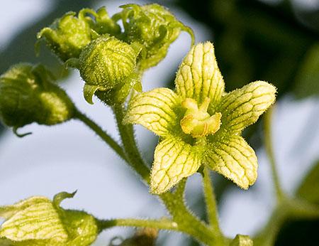 Enbo Galdebær - Blomst