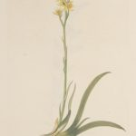 Benbræk – Narthecium ossifragum