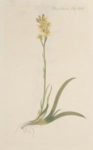 Benbræk - Narthecium ossifragum