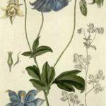 Akeleje (Aquilegia vulgaris)
