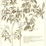Lamiaceae Ocimum basilicum (Basilikum)