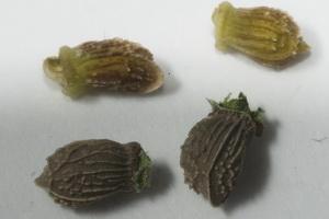 Hjulkrone frø