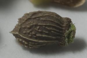 Hjulkrone nærbillede af frø