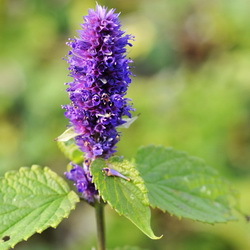 Anisisop - blomst