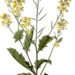 Agersennep (Sinapis arvensis)