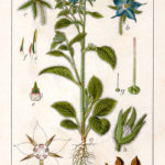 Borago officinalis (Hjulkrone)