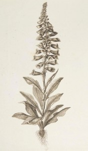 Digitalis purpurea L. (Fingerbøl)