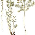 Euphorbia cyparissias (Cypress-vortemælk)