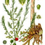 Illustration af Asparagus officinalis (Asparges)