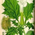 Illustrationaf Datura stramonium (Pigæble, almindelig)