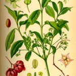 Illustration af Euonymus europaea (Benved)