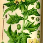 Illustration af Hyoscyamus niger (Bulmeurt)