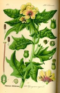 Bulmeurt - Hyoscyamus niger