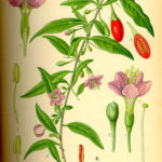 Illustration Lycium barbarum (Bukketorn)