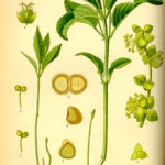 Illustration af Mercurialis perennis (Bingelurt)