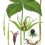Firblad, almindelig (Paris quadrifolia)