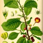 Illustration af Rhamnus frangula (Tørst, almindelig)