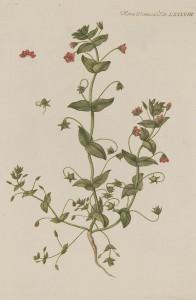 Rød arve - Anagallis arvensis