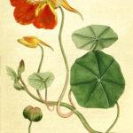 Tropaeolum majusz (Blomsterkarse)
