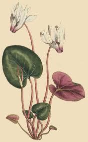 Alpeviol - Cyclamen persicum