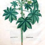 Olieplante (Ricinus communis)