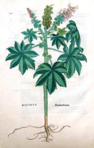 Olieplante - ricinus