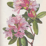 Catawba-Rododendron (Rhododendron catawbiense)