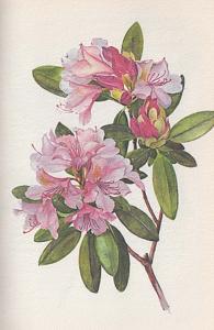 Catawba-Rododendron