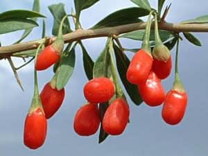 Bukketorns frugt (bær)