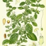 Citronmelisse (Melissa officinalis)
