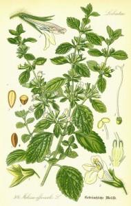 Citronmelisse