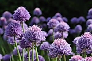 Purløg blomstrer i det tidlige forår