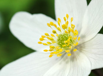 Anemone støknapper og støvfang på en Hvid anemone