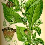 Atropa bella donna (Galdebær)