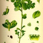Euphorbia helioscopia (Skærm vortemælk)