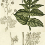 Fjeldkvan flora danica