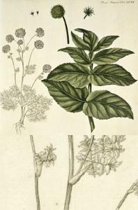Angelica archangelica ssp. Archangelica