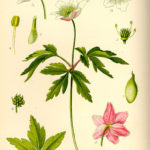 Illustration Anemone nemorosa (Hvid anemone)