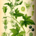 Illustrationaf Bryonia alba (Enbo galdebær)