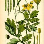 Illustration af Chelidonium majus (Svaleurt)