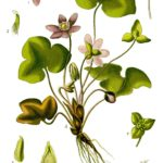 Illustration Hepatica nobilis (Blå anemone)