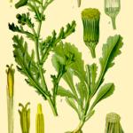 Illustration Senecio vulgaris (Brandbæger, almindelig)