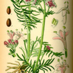 Illustration af Valeriana officinalis (Lægebaldrian)