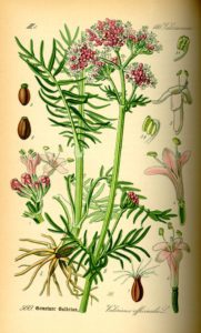 Valeriana officinalis