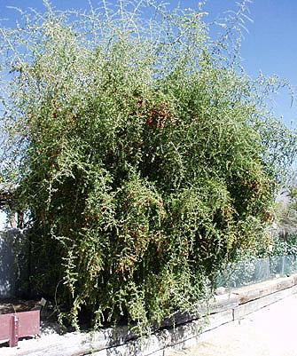 Bukketorn plante i Danmark