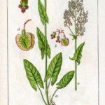 Rumex acetosa (Almindelig skovranke)